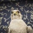 Falcon — Stock Photo #40346959