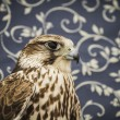 Falcon — Stock Photo #40347167