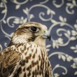 Falcon — Stock Photo #40347193