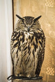 猫头鹰肖像 — 图库照片