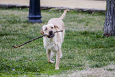 Brown labrador running — Stock Photo