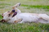 Brown labrador lies — Stock Photo