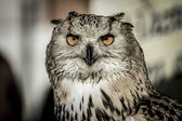 Owl with orange eyes — Stock Photo