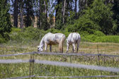 Brown horse grazing in a green pasture — Stockfoto