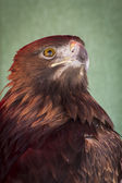 Eagle head — Foto de Stock