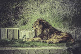 Lion in wildlife scene — Stok fotoğraf