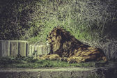 Lion in wildlife scene — Foto Stock