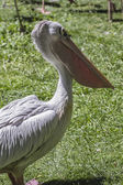 Pelican bird — Stock Photo