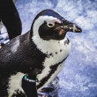pinguino nello zoo — Foto Stock #50093863