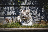 White tiger — Stock Photo