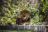 Resting lion — Stock Photo