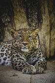 Leopard resting — Stock Photo