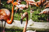 Orange flamingos — Stock Photo