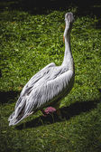 Pelican in sun — Stock Photo