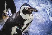 動物園でペンギン — ストック写真