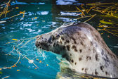 Seal in water — Stock Photo