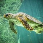 Huge turtle swimming — Stock Photo #50218693
