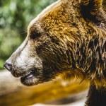 ������, ������: Furry brown bear