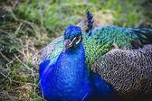 Peacock deep blue — Stock Photo