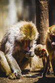 Baboon family eating — Stock Photo