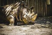 Powerful rhino resting — Stock Photo