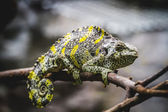 Chameleon, scaly lizard — Stock Photo