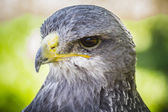 Spanish falcon — Stock Photo