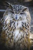 Spanish owl — Zdjęcie stockowe