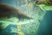 Shark swimming under sea — Stock Photo