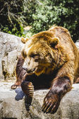 Furry brown bear — Stock Photo