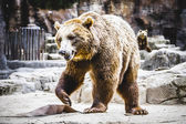 Furry brown bear — Stockfoto