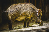 Boar following a trail — Stock Photo