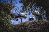гнездо аистов — Стоковое фото