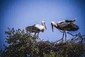 Storkar häckar — Stockfoto