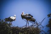 鹳巢 — 图库照片