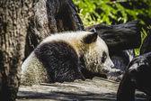 Breeding panda bear — Stock Photo