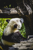 медведь панда разведения — Стоковое фото