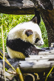Breeding panda bear — Stock Photo