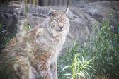 Iberian lynx — Stock Photo