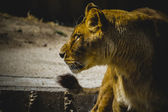 Lioness in a zoo park — Stock Photo