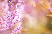 Blurred background of lilac flowers — Stock Photo