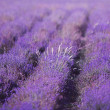 Lavender field — Stock Photo #27490267