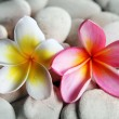 Yellow and red frangipani on pebbles - Stock Photo