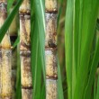 Stock Photo: Close up of sugarcane plant