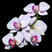 Five pink orchids on a branch — Stock Photo
