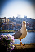 Seagull — Stock Photo