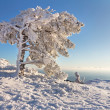 The pine under the snow in mountains - Stock Photo