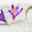 Crocuses and snow — Stock Photo