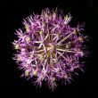 Onion flower on a black background, fireworks — Stock Photo