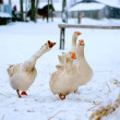 Domestic geese outdoor in winter — Stock Photo